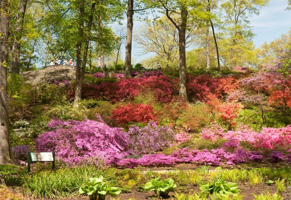 El jardín de las azaleas. Uno de los rincones más exquisitos del parque. Fotografía NYBG