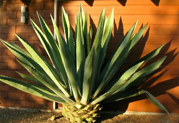 Aloe in garden, Thousand Oaks. Photo credit fashionsphinx.com