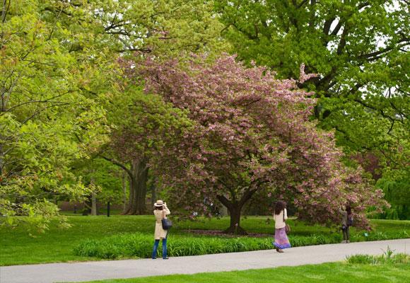 Los cerezos japoneses del jardín botánico son la atracción en primavera. Fotografía Fernando Gallardo