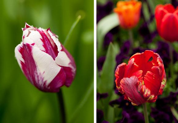 Tulipán Triunfo. Fotografía NYBG