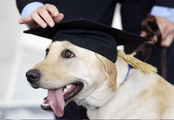Perro graduado como perro de asistencia