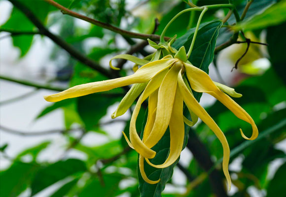 El ylang ylang, es un aceite esencial que se extrae de las flores del árbol tropical cananga odorata (crece en Filipinas, Java, Madagascar y Sumatra).