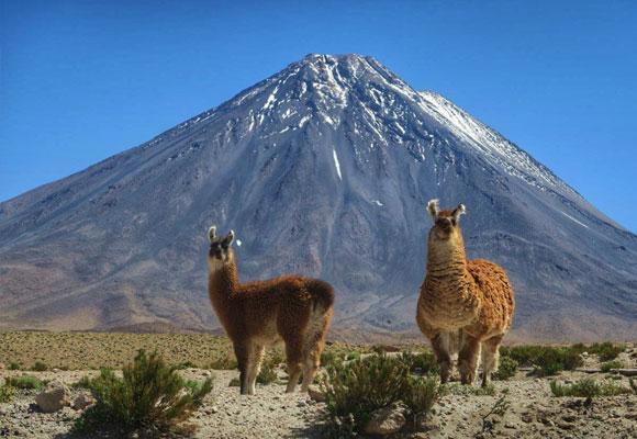 Guanacos frente al volcán
