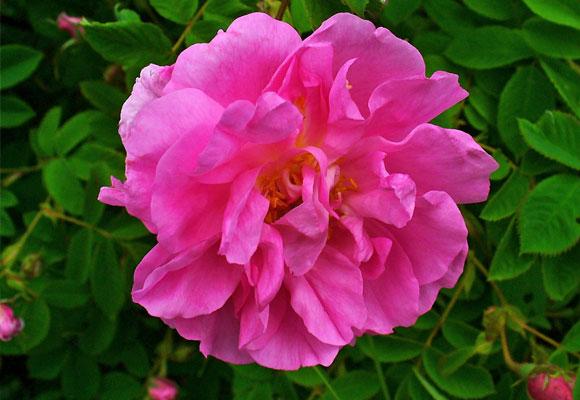 La rosa d