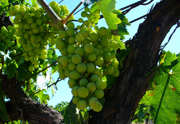 Variedad de uva de Trebbiano d'Abruzzo
