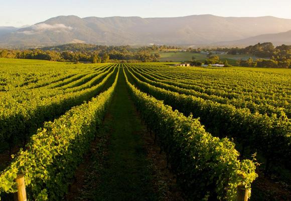 Los viñedos australianos para degustar un vino delux