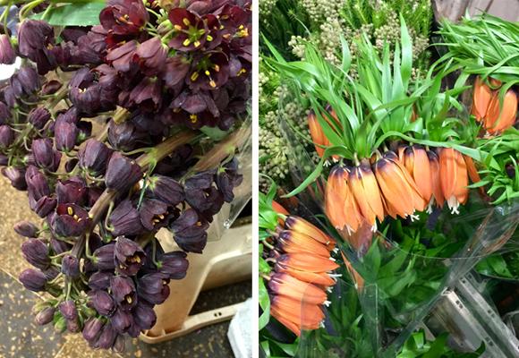 Estamos en temporada de fritillarias, una flor exquisita de la familia de las Liliáceas. Aquí la variedad persa e imperial
