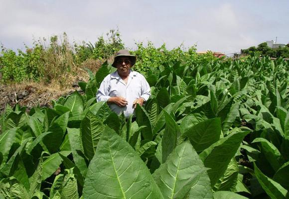 Hay un resurgir del tabaco canario en los últimos tiempos