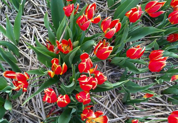 Tulipán Duc van Tol de 1595