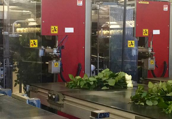 Una máquina clasica las rosas Meier por tamaño de botón y largo del tallo