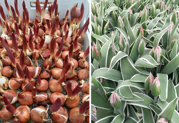 Bulbos de agua y tulipanes brotando