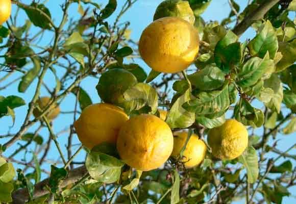 El limonero ayuda a dar vida a cualquier jardín