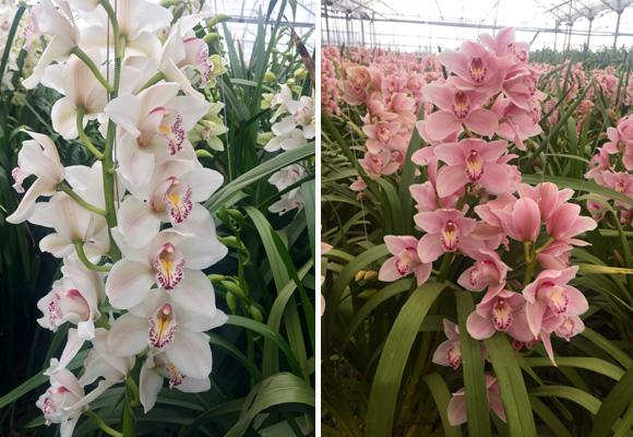 Orquídeas y tulipanes exquisitos y deliciosos a la vista