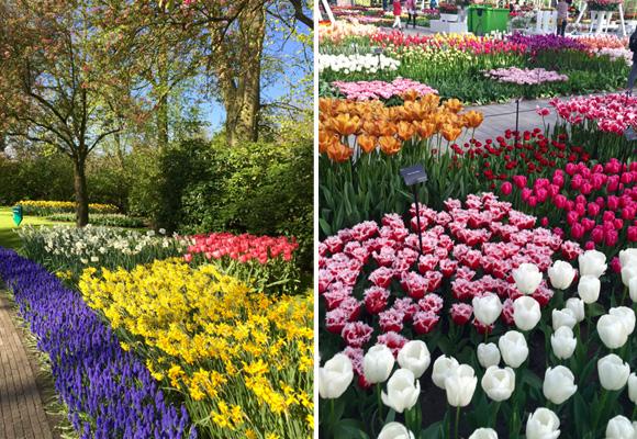 La variedad de tulipanes, jacintos y narcisos de los jardines Keukenhof es alucinante