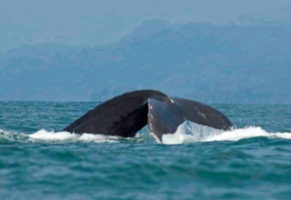 Playa Ballena es un lugar idóneo para ver a la ballena jorobada