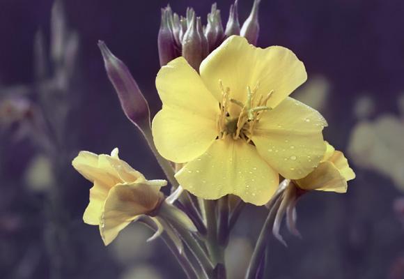 La flor de Onagra, única en su especie