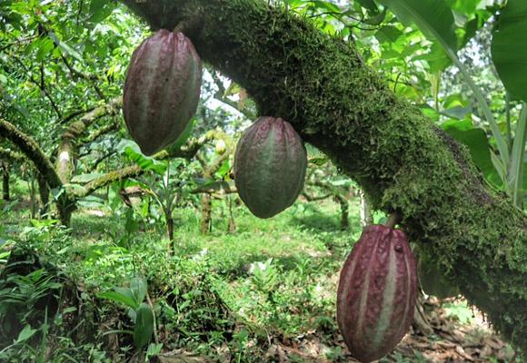 cacao-en-la-zona-del-caribe