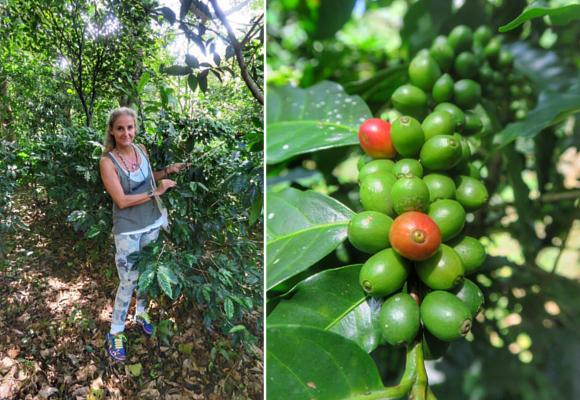 el-fruto-se-recolecta-entre-noviembre-y-enero-seleccionando-siempre-los-frutos-rojos-y-maduros