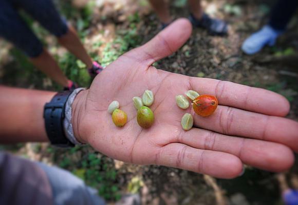 los-frutos-del-cafe-pueden-tener-una-dos-o-tres-semillas-la-mas-valorada-es-la-individual-denominada-caracolilo